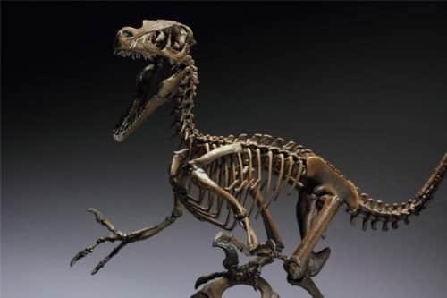esqueleto velociraptor dinosaurios