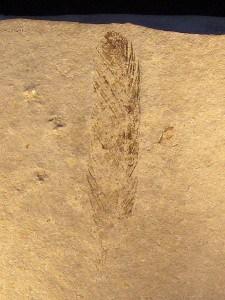 Pluma de Archaeopteryx (von Meyer, 1861)