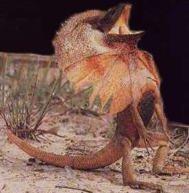 chlamydosaurus2