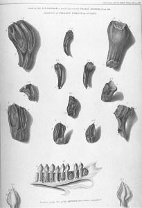 410px-Mantell's_Iguanodon_teeth