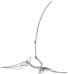Esquema del esqueleto de una hembra de Pteranodon longiceps. Witton,MP. & Habib MB.