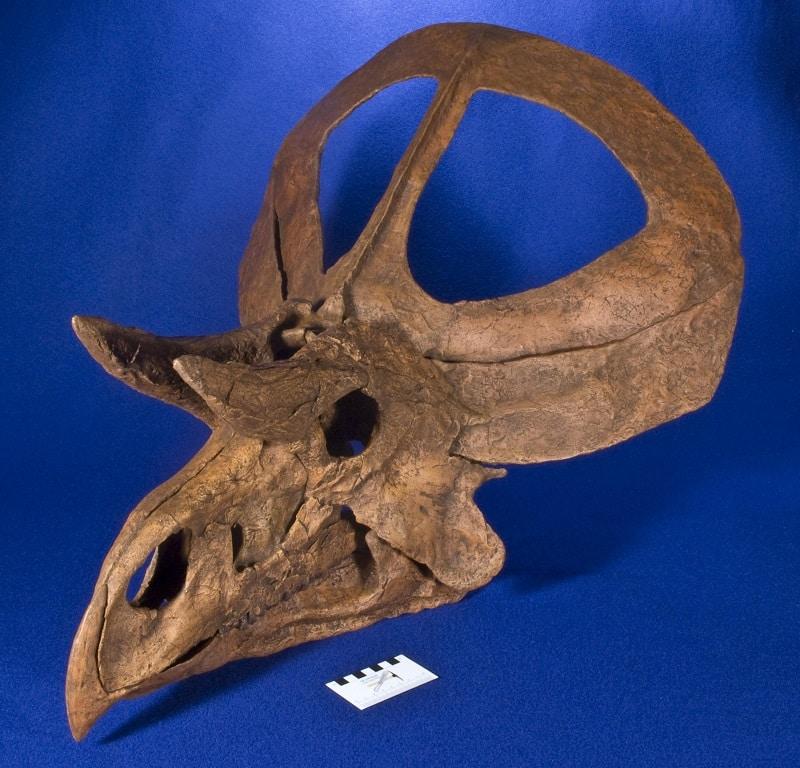 fosil zuniceratops