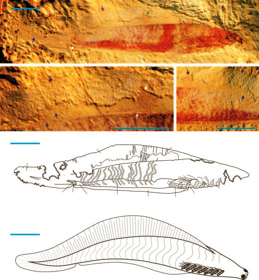 Haikouichthys fossil and reconstruction