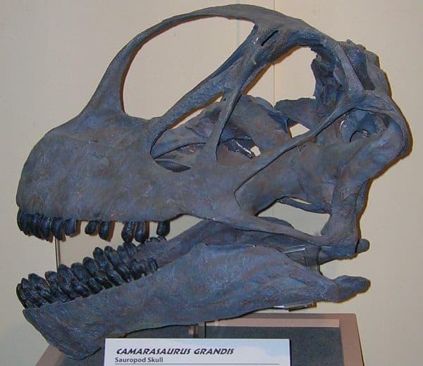 fenestras-craneo-camarasaurus