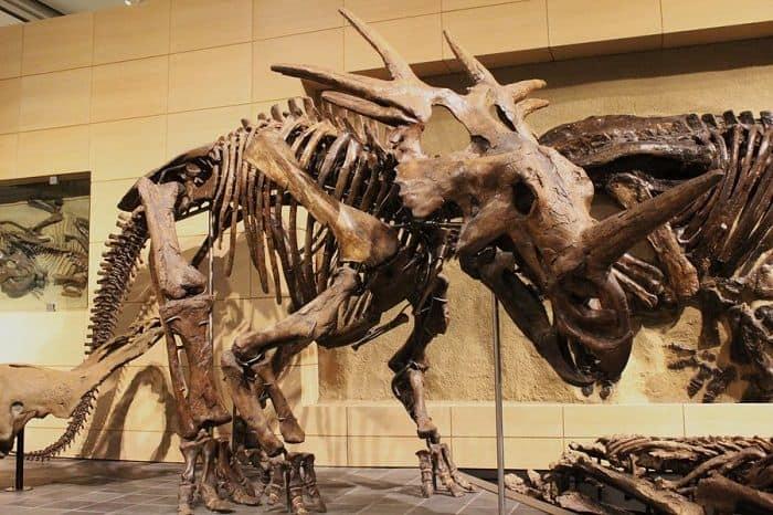 Reconstrucción de un Styracosaurus
