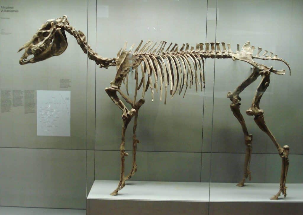 hipparion esqueleto fosil