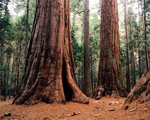 bosque-gigante
