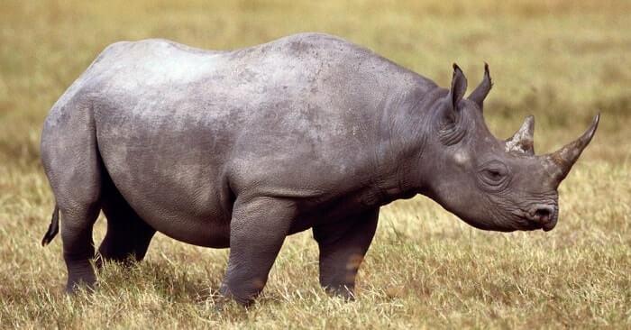 El Elasmotherium pertenece a la familia de rinocerontes