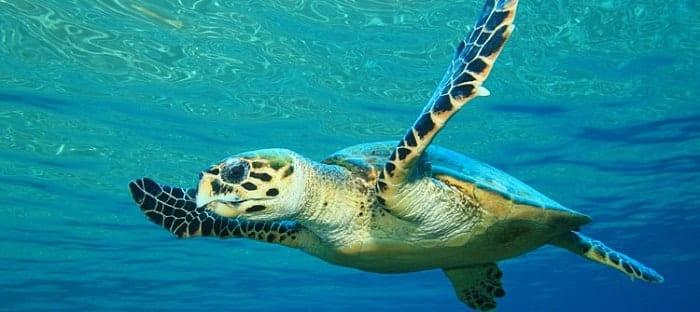 Archelon era una tortuga marina