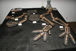 Fósil de 'Banjo' en el museo.