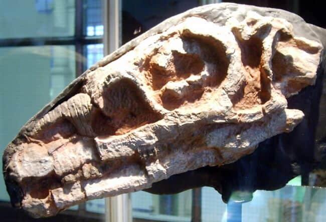replica craneo riojasaurus