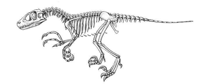 Descripción del Dromaeosaurus