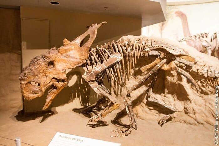 Reconstrucción de un Pachyrhinosaurus