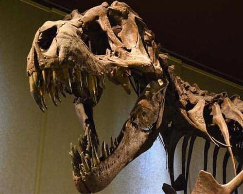 fosil-de-rex