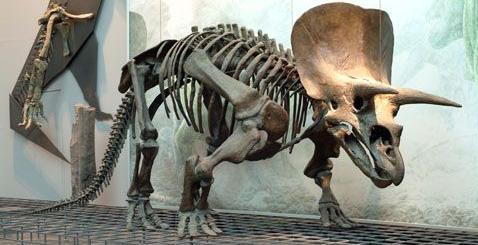 foto de un Triceratops real