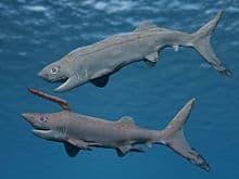 falcatus . tiburon prehistórico