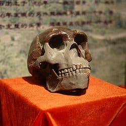 homo erectus pekines